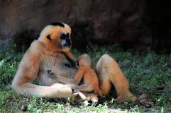 Female Gibbon monkey nursing young Stock Image