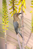 Female Gilded Flicker climbing on Aloe flowers Stock Photography