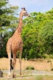 Female Giraffe Royalty Free Stock Images