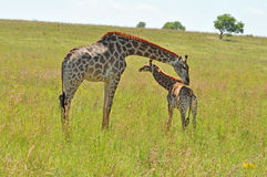 Female Giraffe in Africa with a calf. Royalty Free Stock Photography