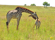 Female Giraffe in Africa with a calf. Royalty Free Stock Photos