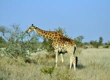 Female Giraffe in Africa. Royalty Free Stock Photo