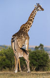 Female giraffe with a baby in the savannah. Kenya. Tanzania. East Africa. Stock Photo