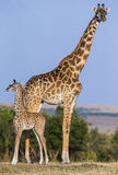 Female giraffe with a baby in the savannah. Kenya. Tanzania. East Africa. Stock Images