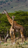 Female giraffe with a baby in the savannah. Kenya. Tanzania. East Africa. Royalty Free Stock Images