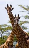 Female giraffe with a baby in the savannah. Kenya. Tanzania. East Africa. Stock Photo
