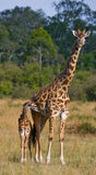 Female giraffe with a baby in the savannah. Kenya. Tanzania. East Africa. An excellent illustration royalty free stock photography