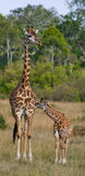 Female giraffe with a baby in the savannah. Kenya. Tanzania. East Africa. An excellent illustration royalty free stock photos