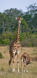Female giraffe with a baby in the savannah. Kenya. Tanzania. East Africa. An excellent illustration stock images