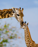 Female giraffe with a baby in the savannah. Kenya. Tanzania. East Africa. An excellent illustration stock photo