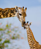 Female giraffe with a baby in the savannah. Kenya. Tanzania. East Africa. Stock Photos