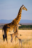 Female giraffe with a baby in the savannah. Kenya. Tanzania. East Africa. An excellent illustration royalty free stock photo