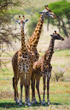 Female giraffe with a baby in the savannah. Kenya. Tanzania. East Africa. An excellent illustration stock photos