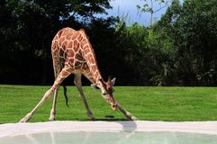 Female giraffe drinking Stock Photography