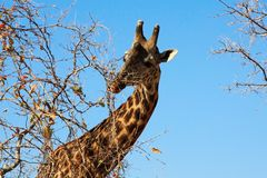 Female giraffe eating bush on sky background Stock Images