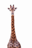 Female giraffe isolated Stock Photos