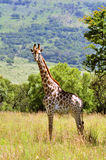 Female Giraffe in South Africa Stock Photography