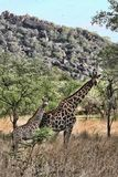Female giraffes with youngsters, Matopos National Park, Zimbabwe royalty free stock images