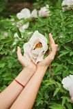 Female Girl's Hands Holding Playing Little White Flowers Bush. Spring Time. stock photography