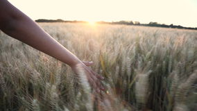 Female girls hand feeling the top of a field of barley crop at sunset or sunrise stock video