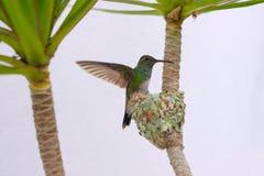 Female Glittering-Bellied Emerald hummingbird, Chlorostilbon Lucidus, flying back to her nest, Brazil. South America royalty free stock photography