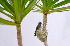 Female Glittering-Bellied Emerald hummingbird, Chlorostilbon Lucidus, sitting on her nest, Brazil. South America royalty free stock photography