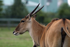 Female gnu antelope Royalty Free Stock Photography