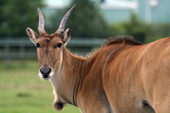 Female gnu antelope Stock Photos