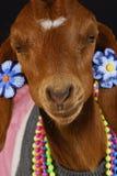 Female goat stock photos