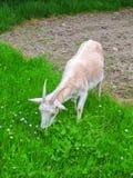 Female Goat Stock Photography
