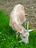 Female Goat Royalty Free Stock Image
