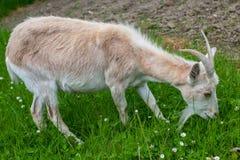 Female Goat Stock Images