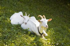 A female goat in the grass Royalty Free Stock Photos