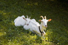 A female goat in the grass Stock Photography
