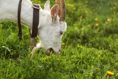 Female goat grazing, eating grass, mouth open. Detail on head, a. Nd neck with bell royalty free stock image