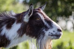 Female goat head profile. Capra aegagrus hircus royalty free stock image