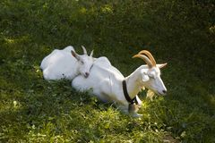 A female goat with her puppy Royalty Free Stock Photo