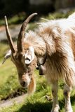 Female Goat with Horns and Cowbell. Brown and white female goat with horns and cowbell - Italian Alps stock image