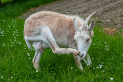 Female Goat Stock Photo