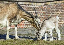 Female goat playing with baby. Royalty Free Stock Photo
