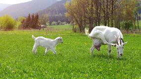 Female goat scratching her head, with baby goat behind her, walk. Ing on sun lit farm meadow Royalty Free Stock Photography