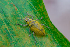 Female Gold Dust Weevil Royalty Free Stock Image