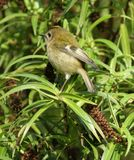 Female Goldcrest 2 (Regulus regulus) Stock Photos