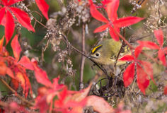 Female Goldcrest in purple leaves Stock Image