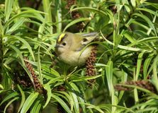 Female Goldcrest (Regulus regulus) Stock Photos