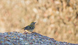 Female Goldcrest on rock Royalty Free Stock Images