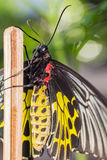 Female golden birdwing butterfly Royalty Free Stock Photos