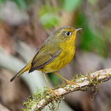 Female Golden Bush Robin Stock Photo