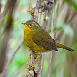 Female Golden Bush Robin Royalty Free Stock Photo
