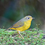 Female Golden Bush Robin Stock Image